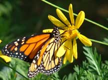 Monarch butterfly with Euryops pectinatus (Golden Euryops)
