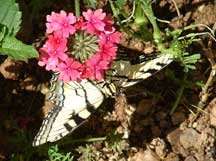 Underside of Tiger Swallowtail with Verbena (Verbena)