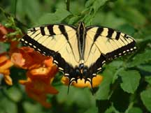 Zebra Swallowtail with Tecoma stans 'Orange Jubilee'
