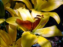 Plant: Lilium (X Asian mix) (Asian Lily)