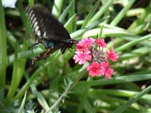 Spicebush Swallowtail with Verbena (Verbena)