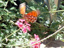 underwing view of an Agraulis vanillae (Gulf Fritillary) with Verbena