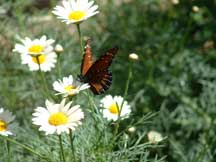 Danaus gilippus (Queen) with Oxeye Daisy