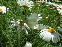 Great Southern White on Leucanthemum valgare (Oxeye Daisy)