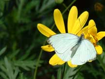 Great Southern White with Leucanthemum vulgare (Oxeye Daisy)