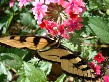 Papilio rutulus (Tiger Swallowtail) harvesting nectar from Verbena