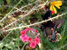 Spicebush Swallowtail with Verbena