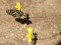 Heliconius charitonius (Zebra Longwing) with Euryops pectinatus (Golden Euryops)