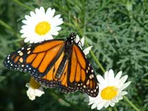 male Danaus plexippus (Monarch) on Leucanthemum vulgare (Oxeye Daisy)