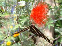 Zebra Longwings on a Calliandra californica (California Fairyduster)