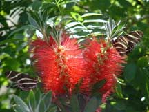 Zebra Longwings with Callistemon (Bottlebrush)