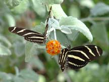 Zebra Longwings with Buddleja marrubifolia (Woolly Butterflybush)