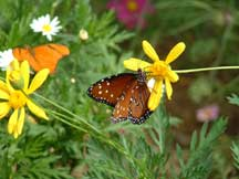 Danaus gilippus (Queen) with Euryops pectinatus (Golden Euryops)
