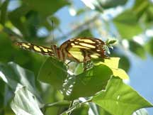 Siproeta stelenes (Malachite) sitting on a leaf