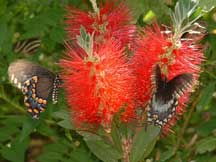 Swallowtails moving like lightning around Bottlebrush