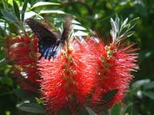 Spicebush Swallowtail with Callistemon (Bottlebrush)