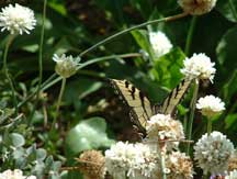 Tiger Swallowtail foraging in Armeria pseudoarmeria 'White Joystick'