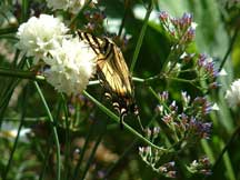 Tiger Swallowtail with Armeria pseudoarmeria and Limonium
