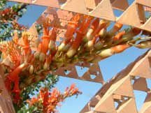 Close-up blooms of Fouquieria splendens (Ocotillo)