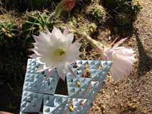 bloom of: Echinopsis sp. (Sea Urchine Cactus)